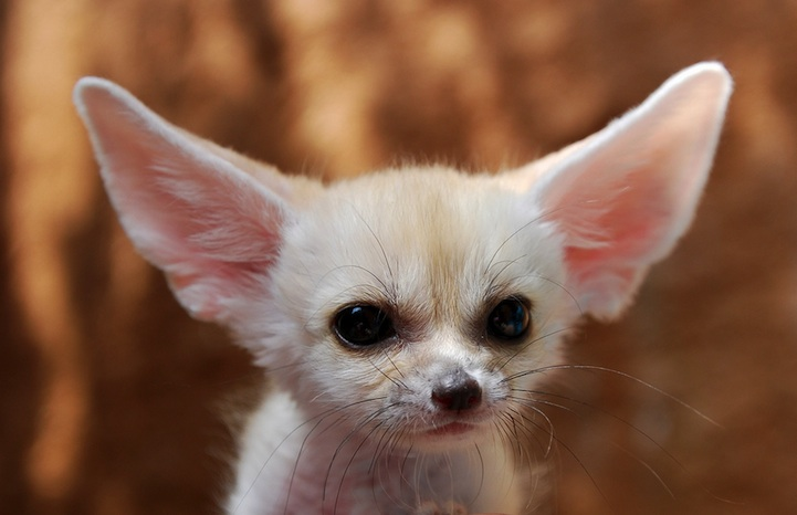 fennec fox is the most cute animal in the world charismatic planet