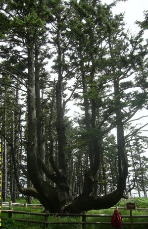 The Octopus Tree Of Oregon- Charismatic Planet