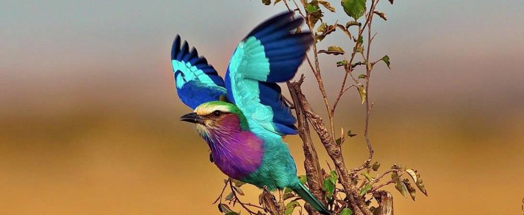 The colorful Lilac Breasted Roller or Coracias caudatus is a member of the roller family of birds normally found alone or in pairs.
