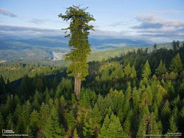 Hyperion is the name of a coast redwood (Sequoia Sempervirens) in Northern California that was measured at 115.61 metres (379.3 feet)