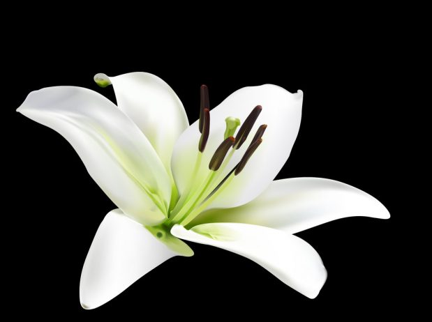 Lily produces magnificent flowers in wide range of shape colors and these are the true lilies izmirmasajfo Images
