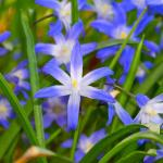 """""""Glory of the Snow"""", A Bright Blue Star Shaped Flower"""