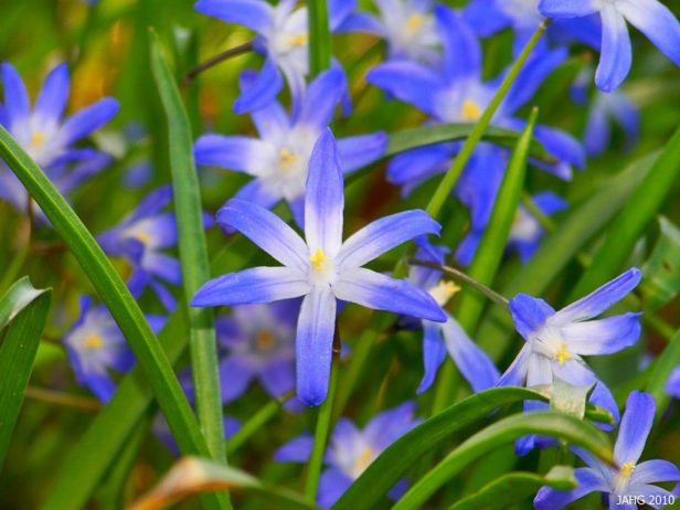 Glory Of The Snow A Bright Blue Star Shaped Flower Charismatic Planet