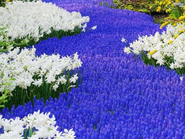 Grape Hyacinth Flower like full sun or part shade and an average, well-drained soil, so grow in later summer or as early in fall as possible.