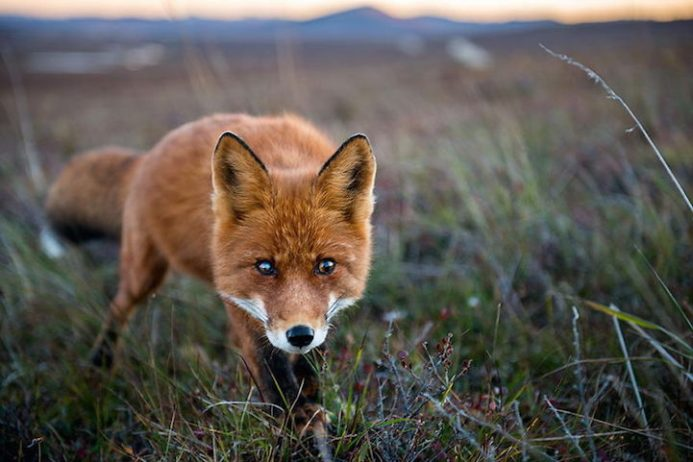 Ivan Kislov captures stunning Photos of Wild Foxes in the snow through his magnificent photographs of foxes in the wild.