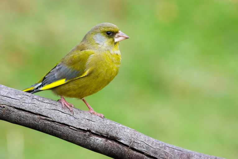 Green Finches are very beautiful birds, lowland countryside, mosaic-like pattern of woods, farmland, hedgerows, thickets and gardens.