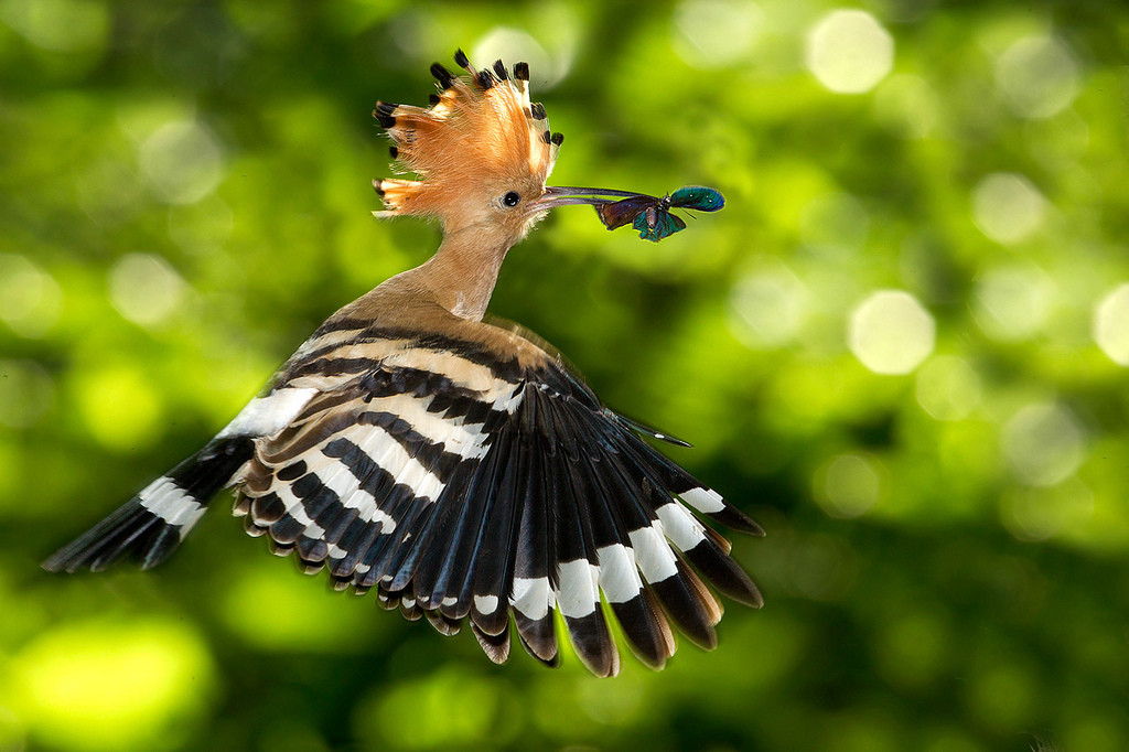 The Hoopoes is a medium sized colorful bird 25 to 32 cm long with 44 to 48 cm wingspan. Distinctive for its distinctive crown of feathers.