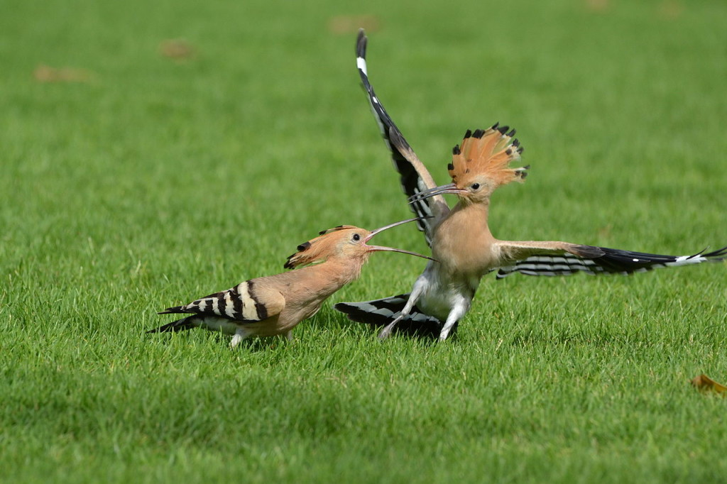 The Hoopoe is a medium sized colorful bird 25 to 32 cm long with 44 to 48 cm wingspan. Distinctive for it's distinctive crown of feathers.