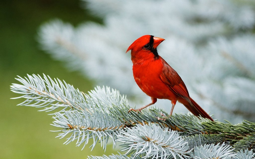 Northern Cardinal Songbird (Cardinalis cardinalis) is a North American Song bird in genus Cardinalis as the redbird or common cardinal.