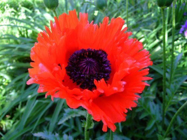 цветы борец посадка и уход фото