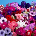 Petunia is Small Flower Comes in Several Shapes and Colors