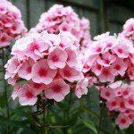 Phlox Flower is Glory of Summer Garden