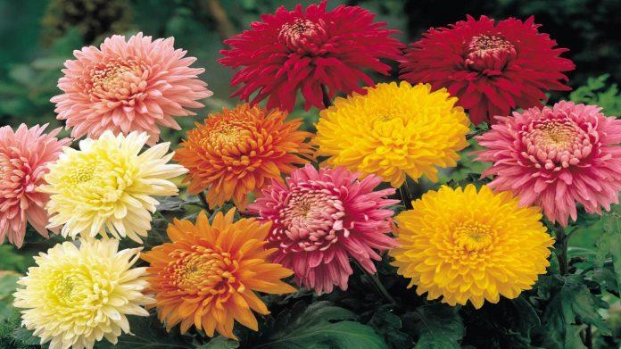 Dasies Chrysanthemum Flowering Plant Comes In Several Shapes