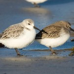 The Dunlin and Sanderling