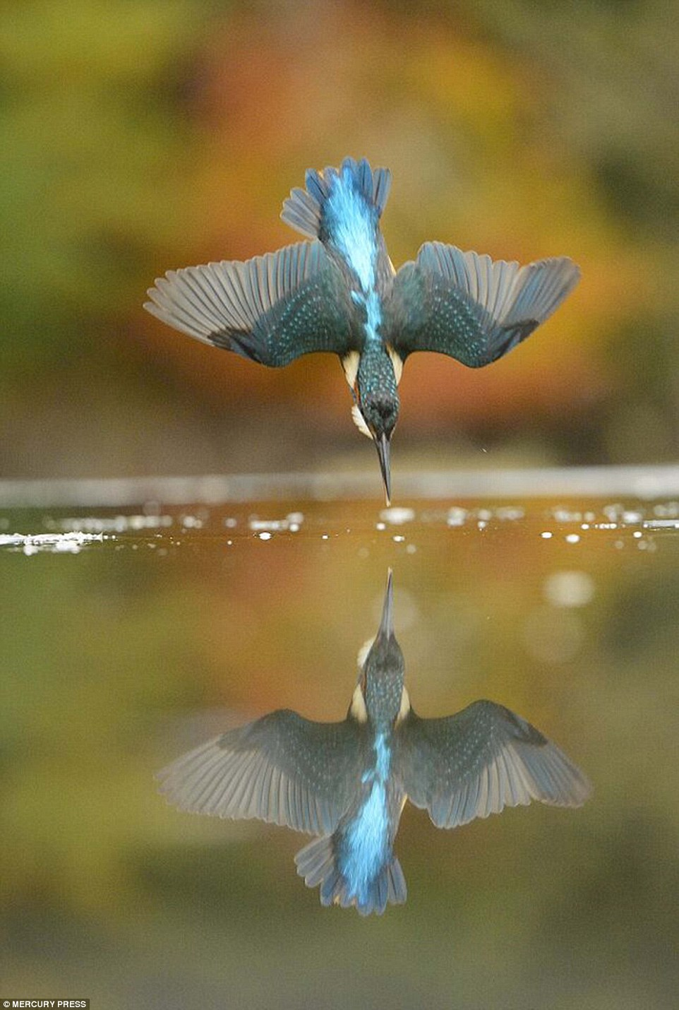 Perfect shots of a diving kingfisher 49