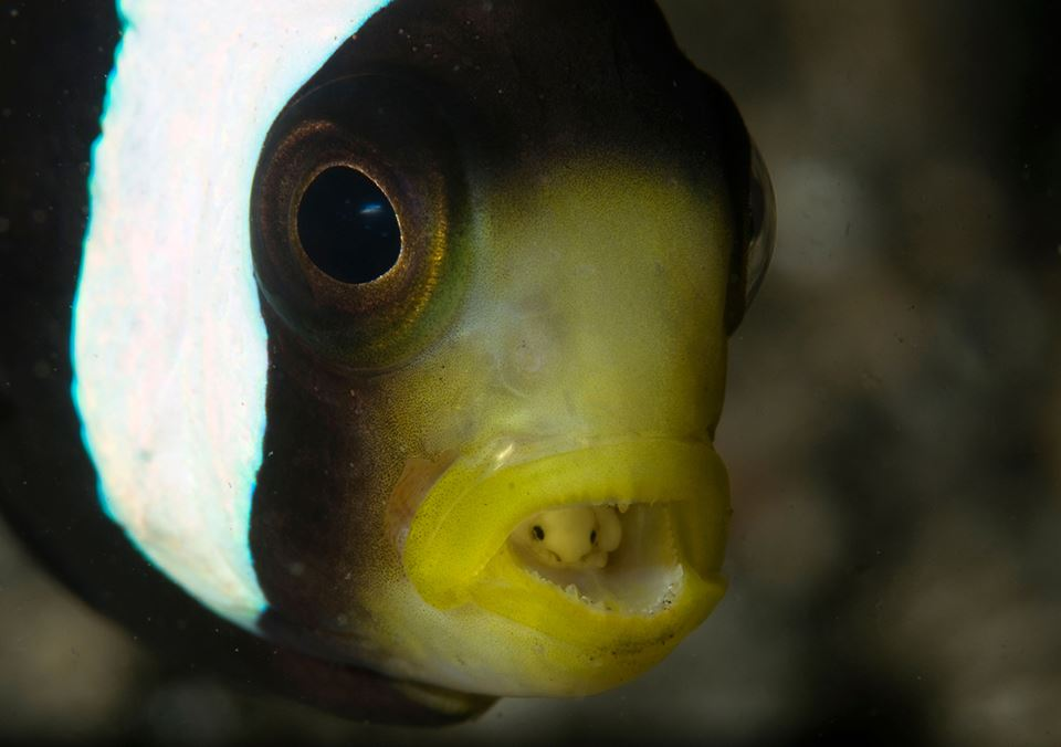 This pale little bug is mysterious Cymothoa Exigua, also known as the Tongue-Eating Louse, or the Tongue Isopod.