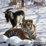 Tiger and Goat, Connect as Fast Friends Even Given to Him as Live Food