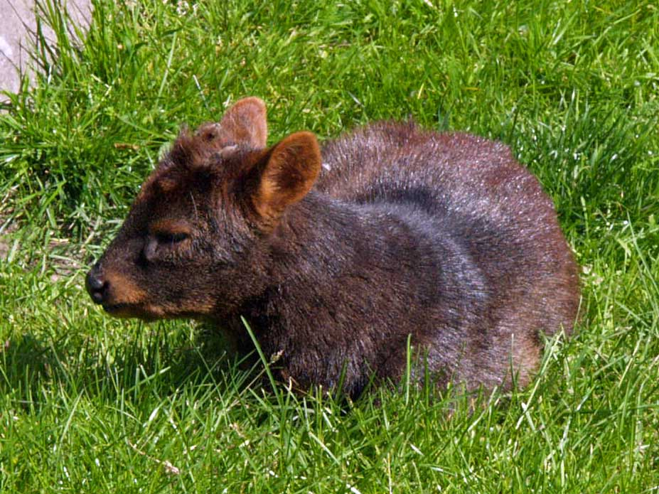 The Pudu is the Smallest Deer in the world, similar in appearance to the northern Pudu (Pudu Mephistopheles, extremely cute to look at.