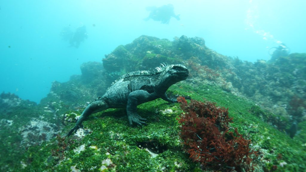 """The much-maligned Marine Iguanas of the Galápagos Islands are famously describing as """"hideous-looking"""" and """"most disgusting, clumsy lizards."""""""