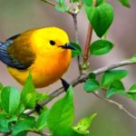 The Prothonotary Warbler