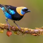 The Golden-Hooded Tanager