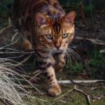 Meet Thor's The Bangal Cat