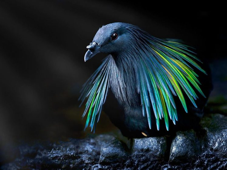 Nicobar pigeon is closest living relative to extinct Dodo Bird with stunning colorful iridescent feathers covered in blue, copper, and green.