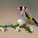 The Melodious Song Bird European Goldfinch (Carduelis carduelis)