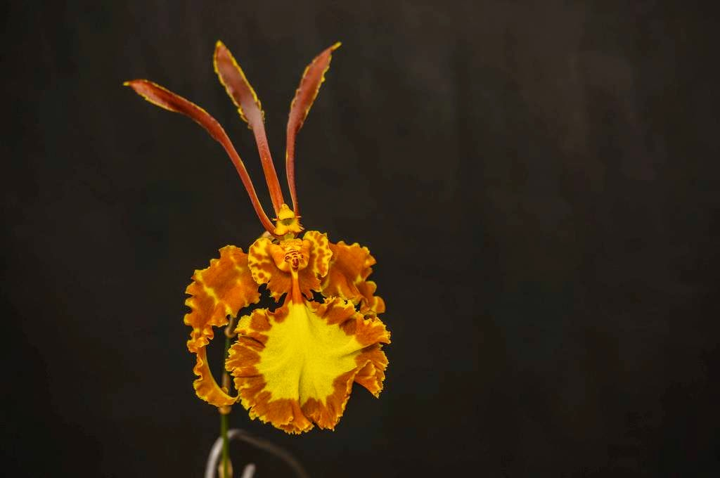 """This is a """"Psychopsis papilio"""" much known as the butterfly orchid, has petals of an incredible length, look like antennae and its speckled brown and yellow sepals look like outspread wings."""