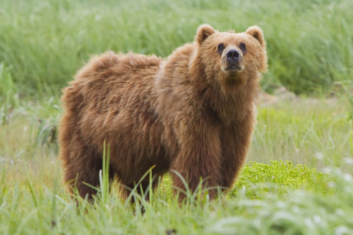 A large brown bear has thick fur which is most often sandy or reddish-brown in colour. The head is large and the body heavy and the legs stocky.