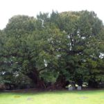 The Llangernyw Yew: The Oldest Living Thing in Europe