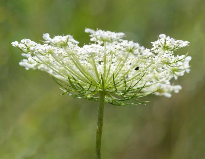Queen Annne'slace common names include wild carrot, bird's nest, bishop's lace, is a white flowering plant in the family Apiaceae,