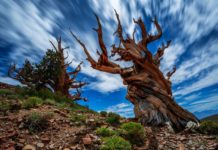 The bark of the Great Basin bristlecone pine is characteristically orange-yellow to light brown, whereas that of the Rocky Mountain bristlecone pine is typically gray-brown.