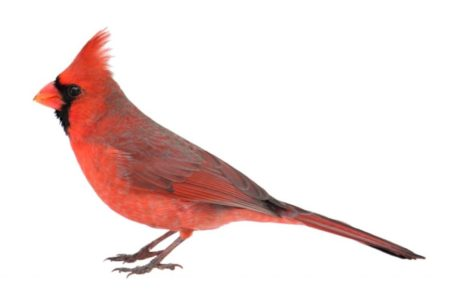 A typical male northern cardinal's feathers turn red from pigments in the foods it eats.