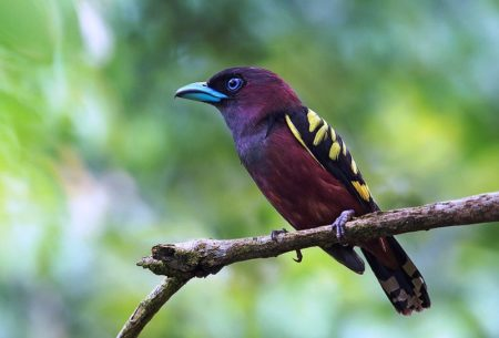 "The banded broadbill ""Eurylaimus javanicus""It is found in Brunei, Cambodia, Indonesia, Laos, Malaysia, Myanmar, Singapore, Thailand, and Vietnam."