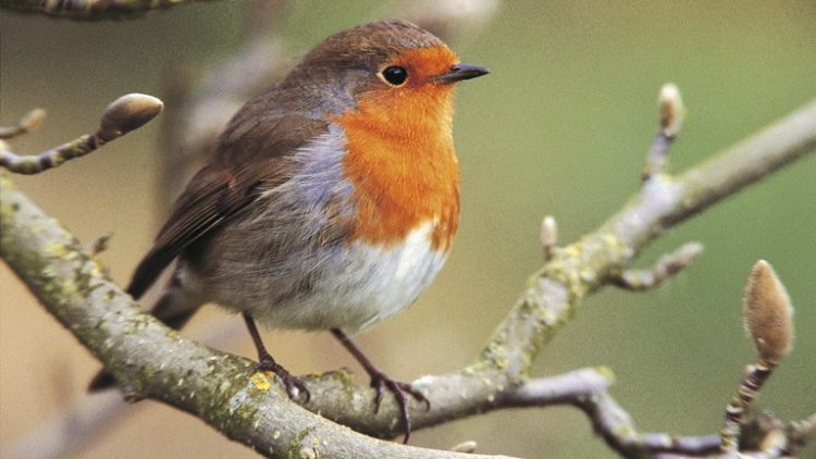 "Robin or ""Erithacus rubecula"" is a redbreast 14cm from beak to tip of tail 5 to 9cm high bird."