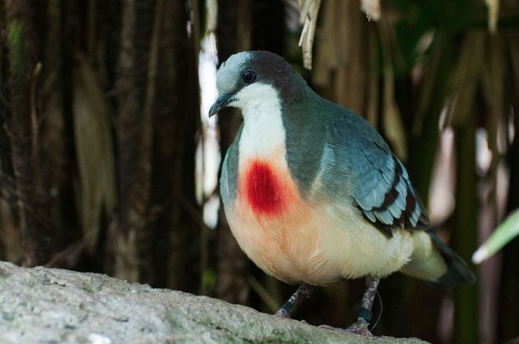 The Luzon got it's rare name from a splash of vivid red on they're white breasts which look like a bleeding wound.