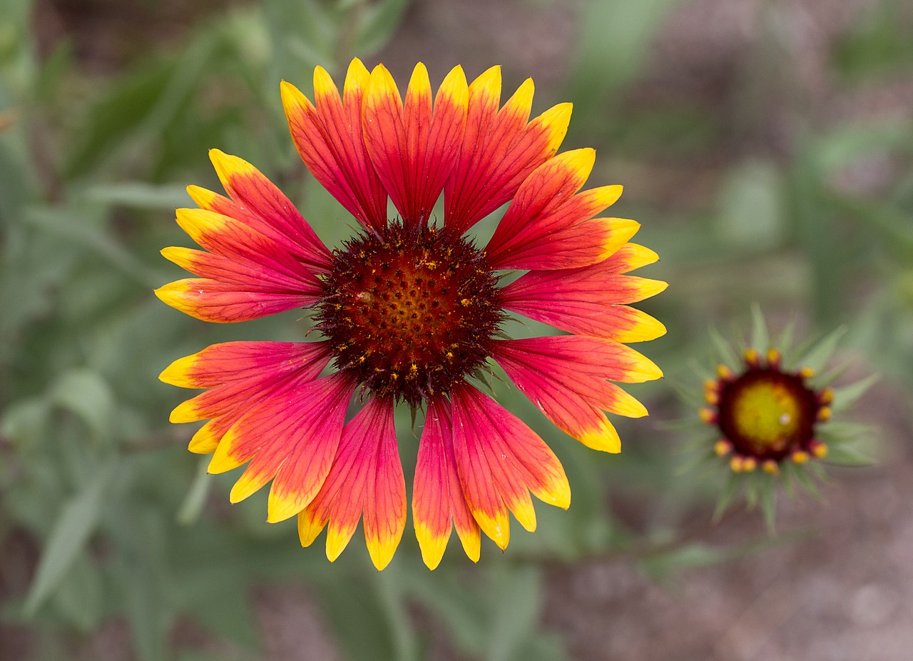The Perennial Blanket Flower - Charismatic Planet