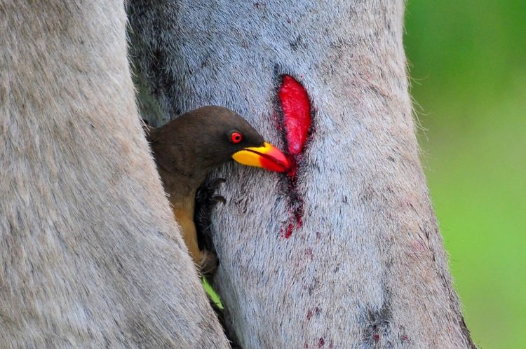 However, their preferred food is blood, and while they may take ticks bloated with blood, they also feed on it directly, pecking at the mammal's wounds until blood flows.