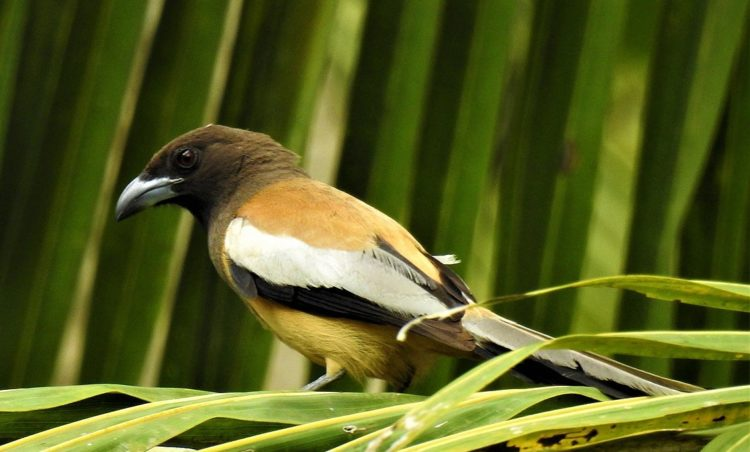 The only confusable species is the grey treepie which though lacks the bright rufous mantle