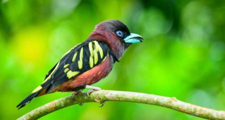 The bird's natural habitat is subtropical or tropical moist lowland forests.