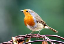The robin enjoys popularity with man unrivalled by any other species.