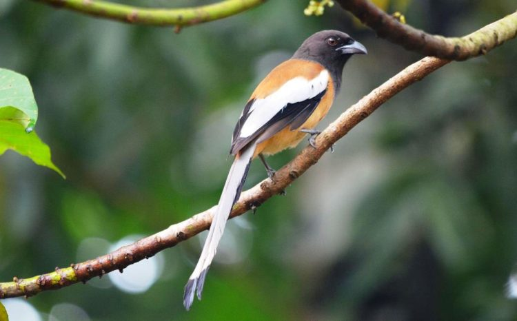 . Rufous Treepie has long tailed, with loud musical calls making it very conspicuous.
