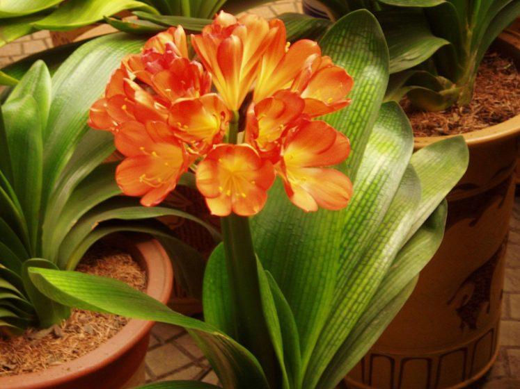 Clivia Miniata: A Prettier Indoor Plant