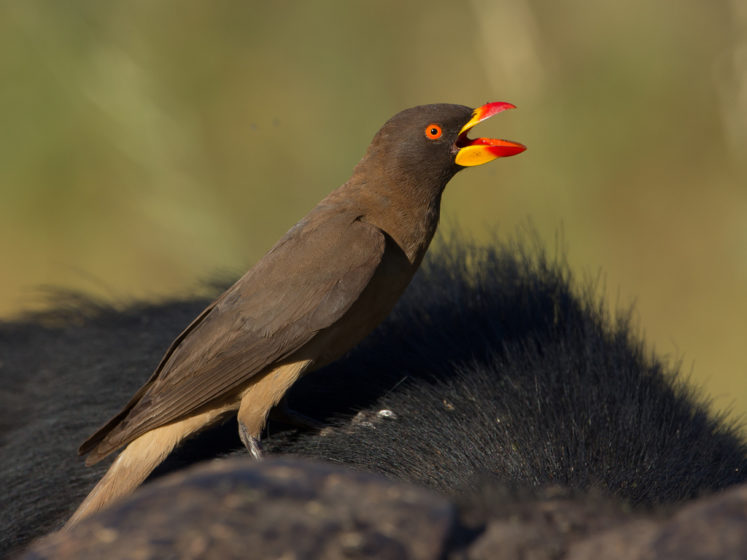 """The name """"oxpecker"""" is related to their habit of perching on large wild and domestic mammals."""