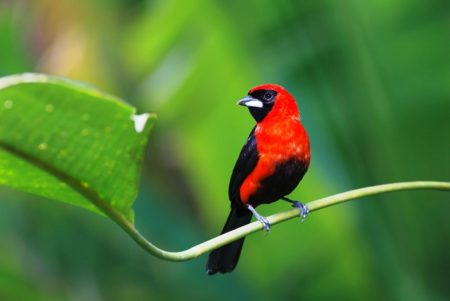 The masked crimson tanager is found across Amazonia and is abundant. It prefers to dwell near bodies of water such as lakes, swamps or rivers, generally at altitudes below 2000 ft.