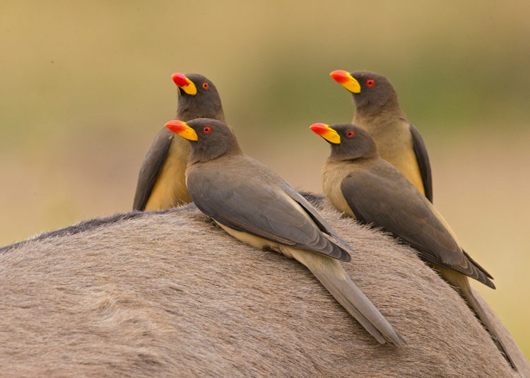 The yellow-billed oxpecker is 20 cm long and has plain brown upperparts and head, buff underparts and a pale rump.