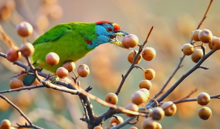 They are widespread residents in the hills of Himalayas. These blue-throated barbet species are non-migratory resident birds.