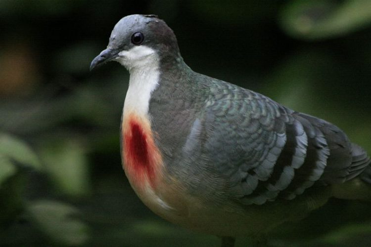 The red patch is somewhat brighter in males. When courting, the male inflates his breast to emphasize the red spot.