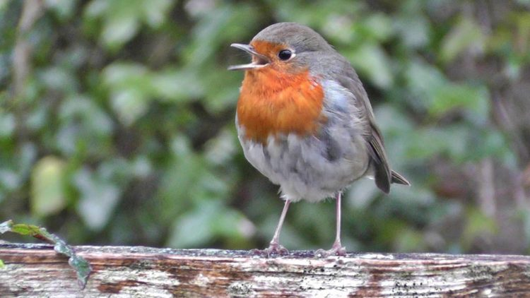 Robins of exactly the same species nest over most of Europe, but a tendency on the continent to shoot and eat small birds has made robins there generally shy and retiring woodland birds.